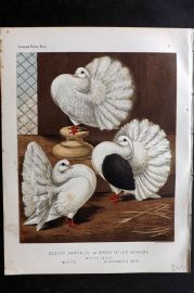Fulton - Pigeons 1878 Antique Bird Print Scotch Fantails or Broad Tailed Shakers